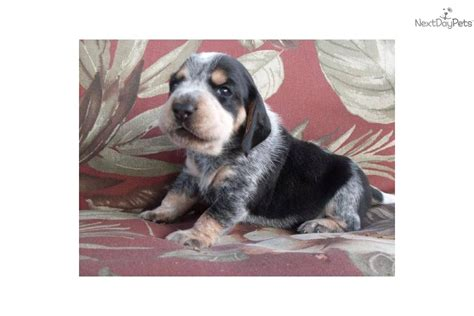 bluetick puppies for sale puppy farm quotes quotes