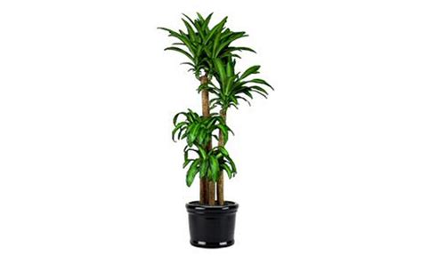 in door plant video 7 indoor plants that purify the air around you naturally massangeana cane inhabitat green