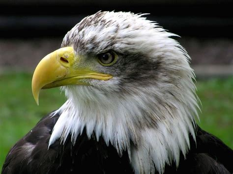 Bald Eagle Wallpapers - Pets Cute and Docile