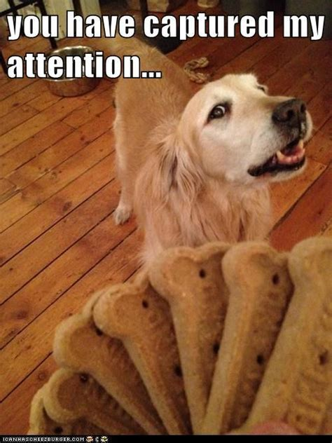 golden retriever meme are golden retriever pups at memes these 8 fur balls are the of memes