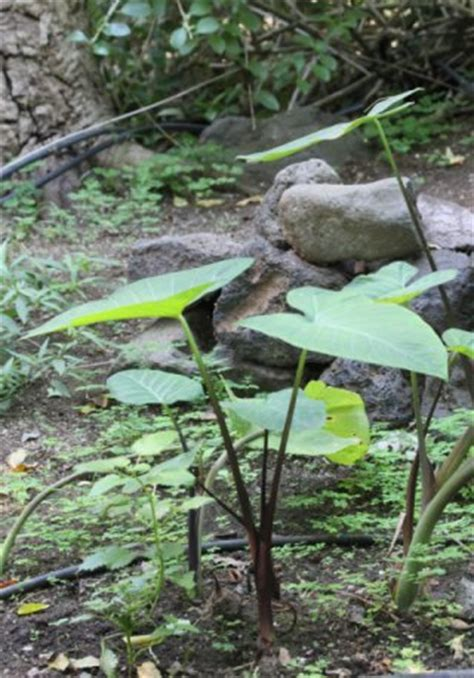 Oreilles D ãšlãšphant Plante Songe Papangue Oreille D 195 169 L 195 169 Phant Flore De La R 195 169 Union
