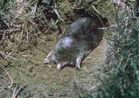 Backyard Rodents by Michigan S Mole And Mole Removal