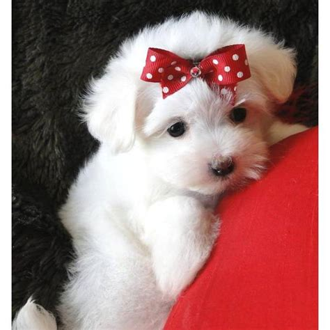 is 12 weeks to get a puppy adorable maltese puppies home
