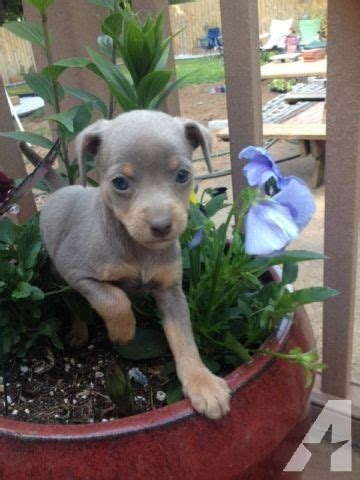 min pin chihuahua mix puppies for sale adorable miniature pinscher and chihuahua mix puppies for sale in estacada oregon