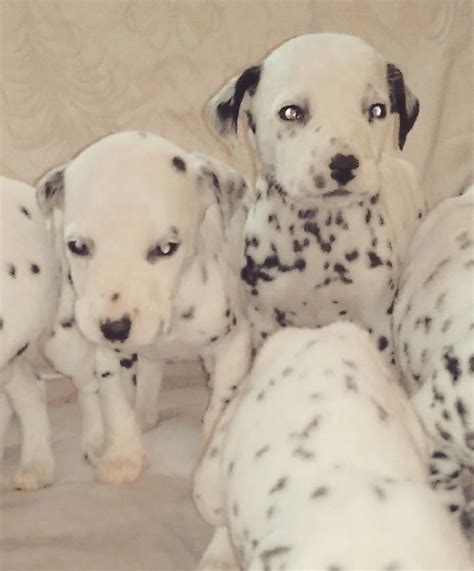 doodlebug daycare louisville ky dalmation puppies cardiff cardiff pets4homes
