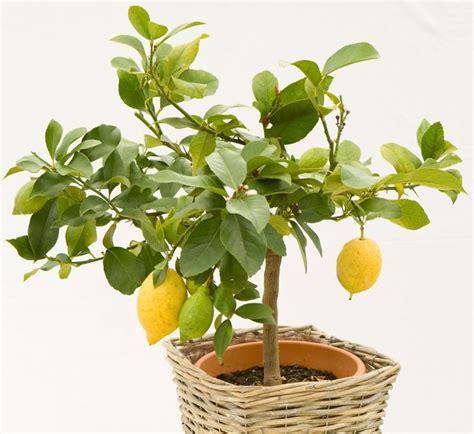 limoni in vaso coltivazione concime per limoni piante da frutto coltivazione limone