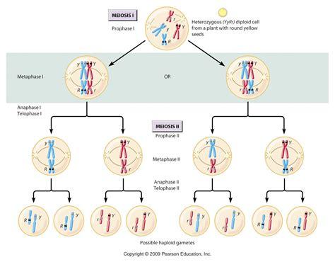 Meiosis and mendelian heredity