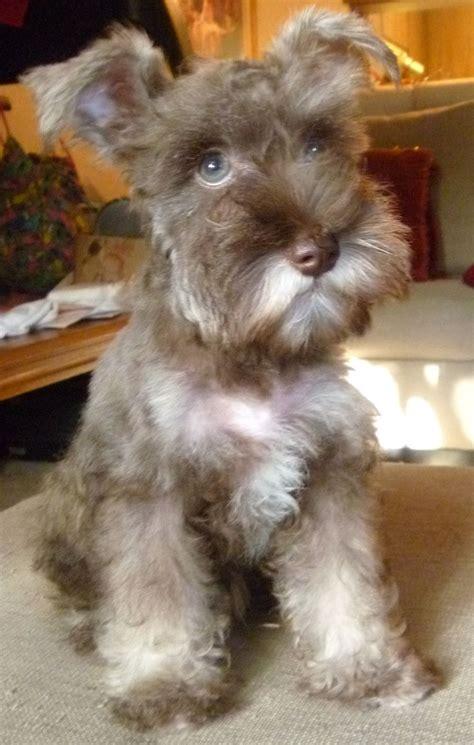 mini schnauzer haircut puppies pinterest a month mini schnauzer oliver omg so freaking cute