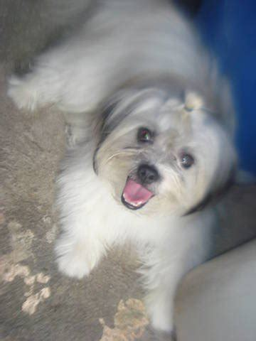 shih tzu spitz mix shih tzu cross dogs for adoption and rescue caroldoey