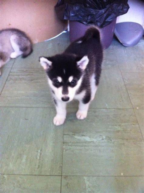 alaskan malamute puppies for sale in michigan alaskan malamute puppies for sale handmade michigan