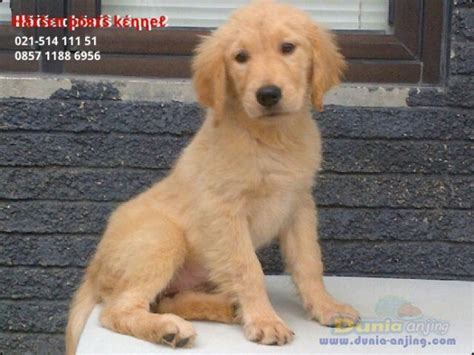 golden retriever puppies indianapolis for sale german shepherd doggolden retriever mix for sale in indianapolis breeds picture