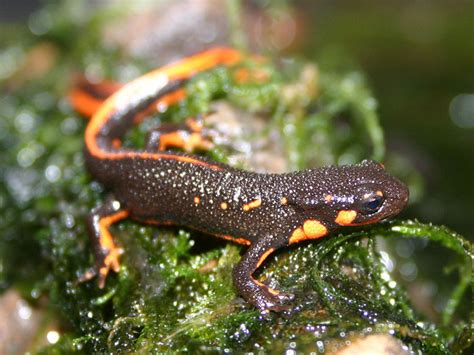 japanese fire belly newt facts and pictures amphibian fact