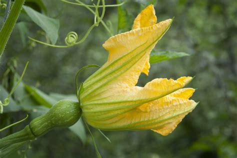 come si possono cucinare i fiori di zucca come conservare i fiori di zucca guide di cucina
