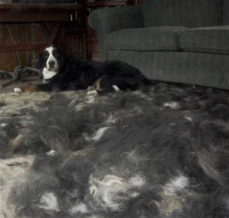 Do Puppies Shed by Bernese Mountain Dogs Shed