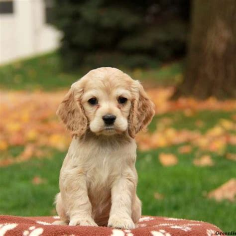 cocker spaniel breeders cocker spaniel puppies for sale greenfield puppies
