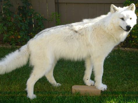 Seven White Wolves white timber wolf maned