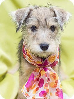 yorkie rescue manchester 17 best ideas about terrier rescue on yorkie puppies yorkie and
