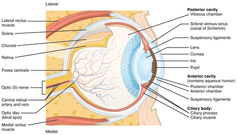 this diagram of the human cycle shows that eye anatomy conjunctiva human anatomy diagram