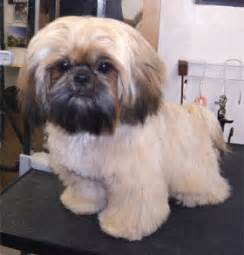 shih tzu mohawk the gallery for gt types of mohawks