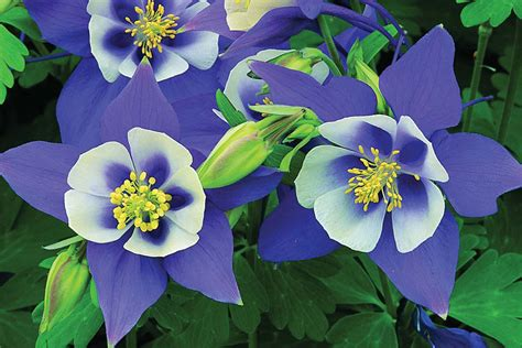 Aquilegia Origami And White - aquilegia origami blue white mr fothergill s flower seeds