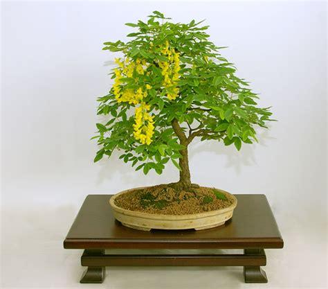 indoor bonsai kaufen rp laburnum anagyroides common laburnum bonsais