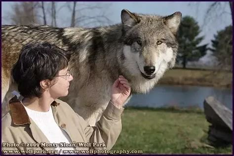 pet wolf can a wolf be a pet quora
