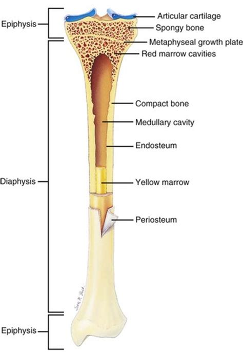 longitudinal section of a long bone bones joints tendons and ligaments veterian key