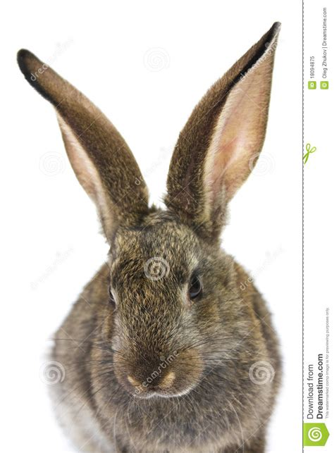 white rabbit new year happy new year of rabbit royalty free stock photo image