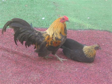 chicken breeds how to choose a breed for your backyard