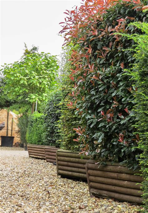 garden hedges types instant hedge ready grown hedges from