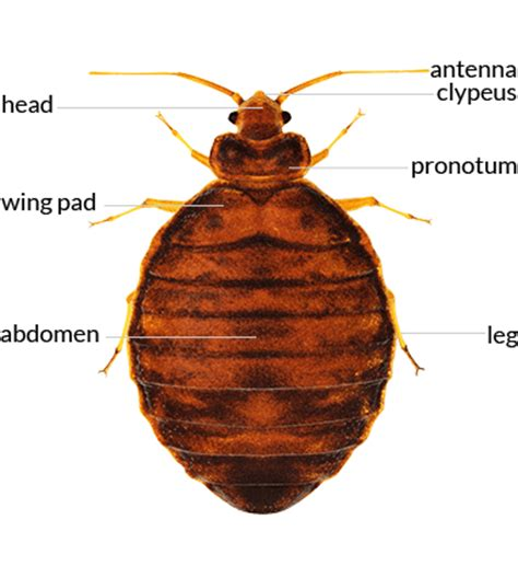 bed bugs en español bed bug what is a bed bug interceptor what do bed bugs