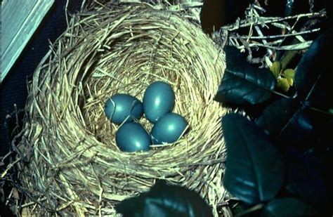 best 28 how many times do robins lay eggs journey