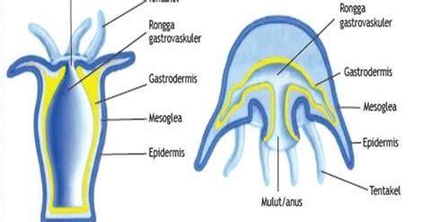 ctenophora coelenterata biologi kelas  ipa sma ma biologine pak mycunk