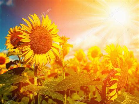 gelukkig weiland zonnebloemen veld onder zomerzacht zon