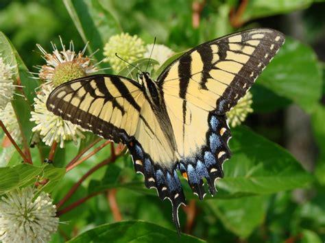 gardening for butterflies butterflies mid atlantic gardening