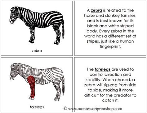 printable zebra facts 17 best images about zoology nomenclature in red on