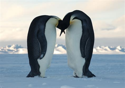 the emperor penguin animals lover