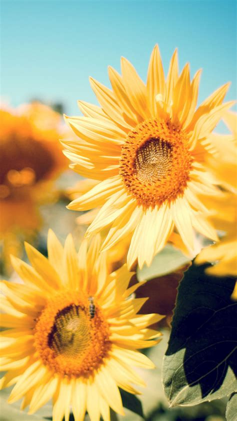wallpaper for iphone sunflower sunflower garden iphone 6 6 plus and iphone 5 4 wallpapers