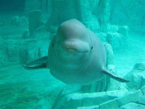 imagenes visuales wikipedia baleia branca wikip 233 dia a enciclop 233 dia livre