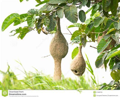 weaver bird nest clipart www pixshark com images