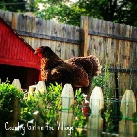 backyard chickens and flies 1000 ideas about homemade fly spray on pinterest horse