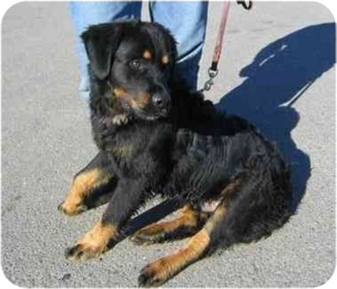 rottweiler and newfoundland mix danny adopted fcar 2006 0028 tracy ca rottweiler newfoundland mix