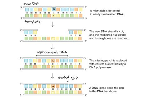 All Systems Go For Tuesday Dna Reveal by Image Gallery Mismatch Repair