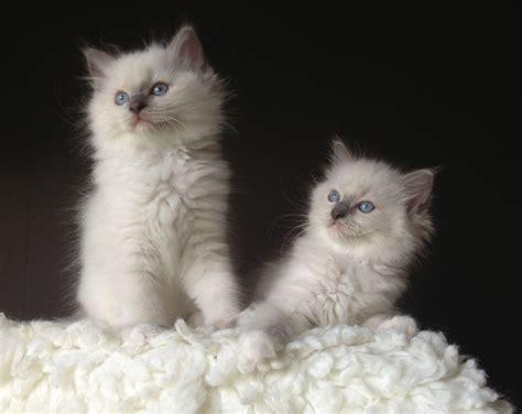 pedigree ragdoll kitten excellent temperament