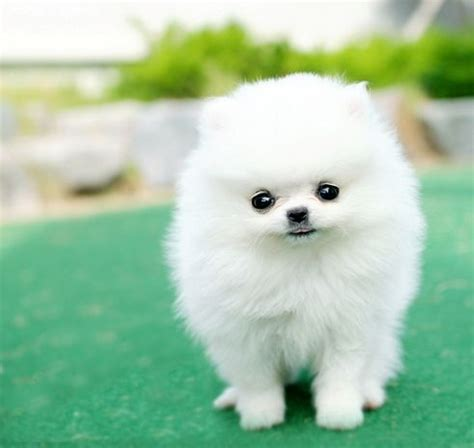 pomeranian puppies white 25 best ideas about white pomeranian on white pomeranian puppies