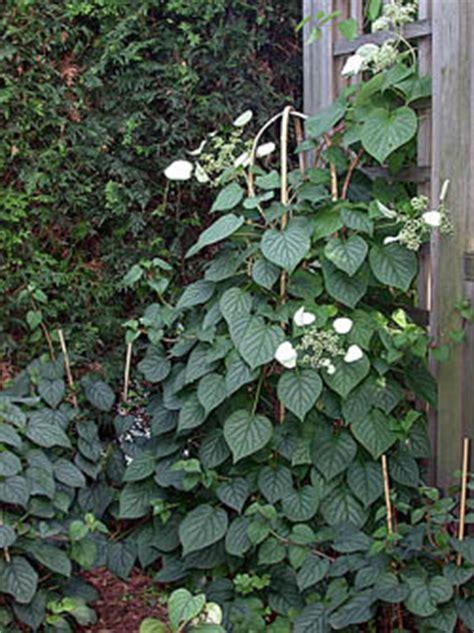 japanese climbing plants japanese hydrangea vine schizophragma hydrangeoides