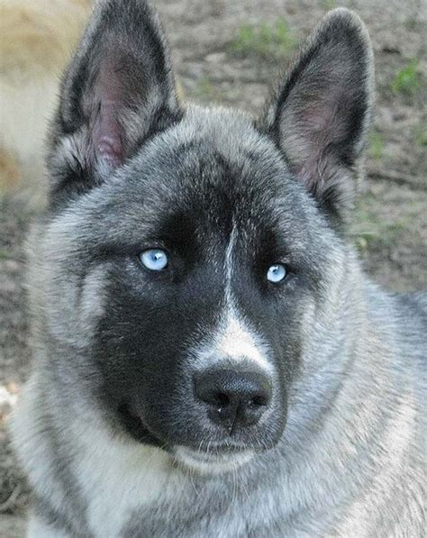 akita husky mix puppy 15 most popular akita pictures fallinpets