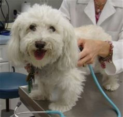 havanese rescue virginia adoptable dogs mostly havanese on havanese dogs lhasa apso and adoption