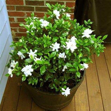 high c gardenias 100pcs gardenia cape jasmine jasminiodes white shrub