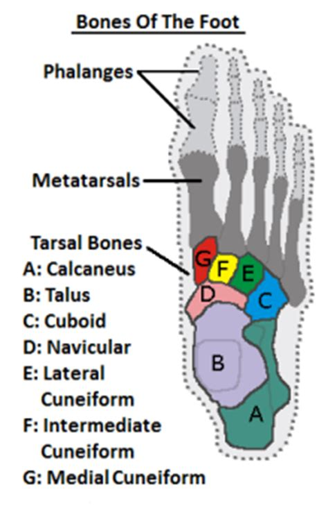 diagram of the foot bones foot bones